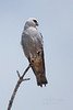 Mississippi Kite (Hernando County)