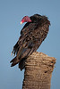 Turkey Vulture (Kissimmee Prairie Preserve)