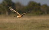 Northern Harrier (1st year) (Okeechobee County)