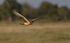 Northern Harrier (1st year) (Okeechobee County)