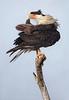 Crested Caracara, preening (Kissimmee Prairie Preserve)