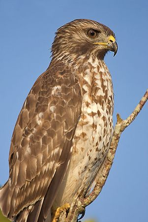 Red-shouldered Hawk, juvenile (near ENP)