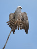 Mississippi Kite with tail fan (Hernando County)