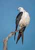 Swallow-tailed Kite perched and posing (Kissimmee Prairie Preserve)