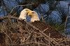 Bald Eagles on Nest (Polk County)
