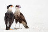Two Crested Caracaras, adult and juvenile, on white shell road (Kissimmee Prairie Preserve)