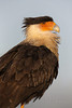 Portrait of a Crested Caracara (Kissimmee Prairie)