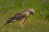 Red-shouldered Hawk with small prey (Kissimmee Prairie)