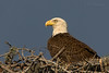 Bald Eagle on Nest (Polk County)