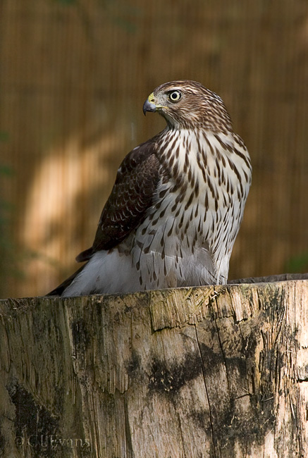 Juvenile Cooper's Hawk (Largo)<br /> <br /> A back yard visitor to one of the bird baths.