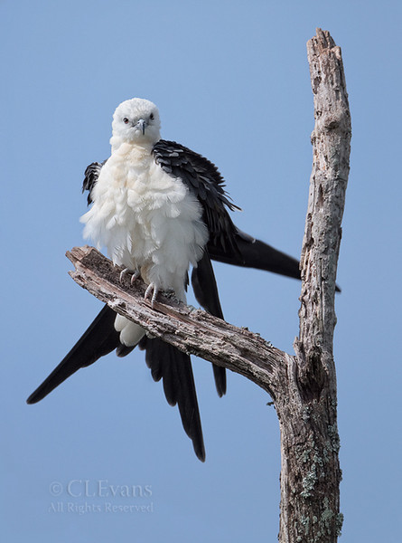 Swallow-tailed Kite - fluffing (Pasco County)