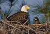 Bald Eagle and Young Eaglet (Polk County)