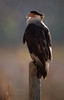Crested Caracara (backlit) (Kissimmee Prairie)