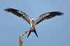 Swallow-tailed Kite ready for take off (Kissimmee Prairie Preserve)