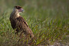 Young Crested Caracara (Kissimmee Prairie Preserve)