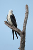 Swallow-tailed Kite (Paso County)