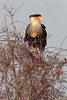 Crested Caracara with full crop (Kissimmee Prairie Preserve)