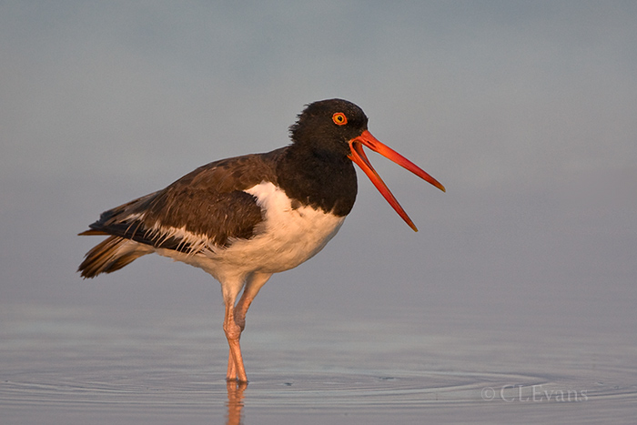 American Oystercatcher calling (St. Petersburg)