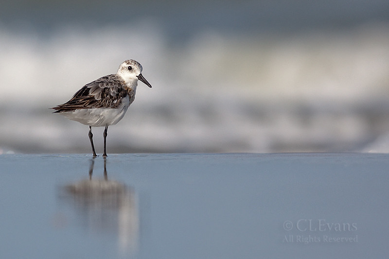 Sanderling (Indian Shores)