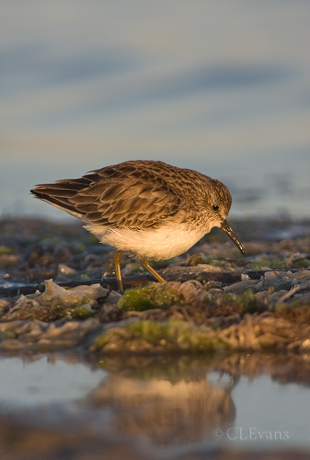 Least Sandpiper, basic plumage (Ft. De Soto Park, St. Petersburg)