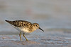 Least Sandpiper, worn breeding plumage (St. Petersburg)
