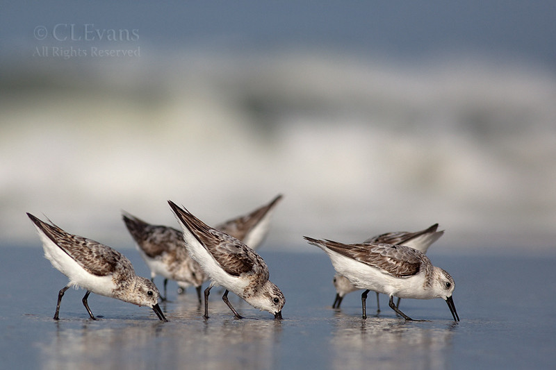 Sanderlings (Redington Beach)