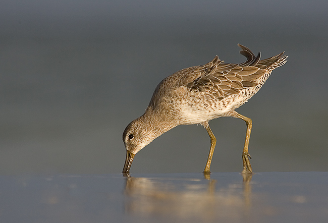 Short-billed Dowitcher (Ft. De Soto Park)