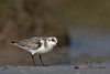 Sanderling (Redington Beach)