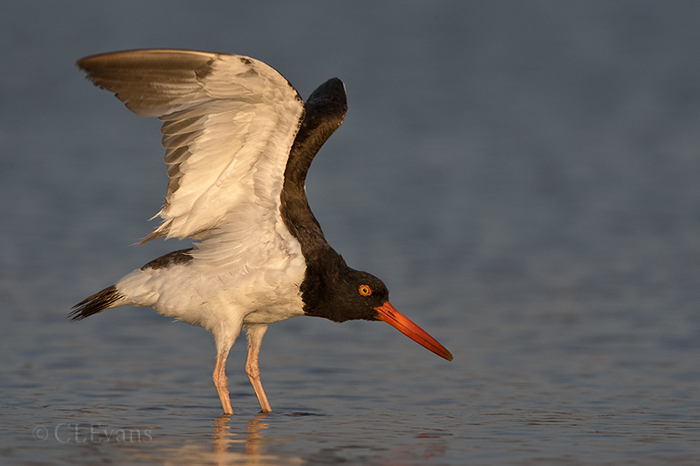 American Oystercatcher, overhead wing stretch (St. Petersburg)