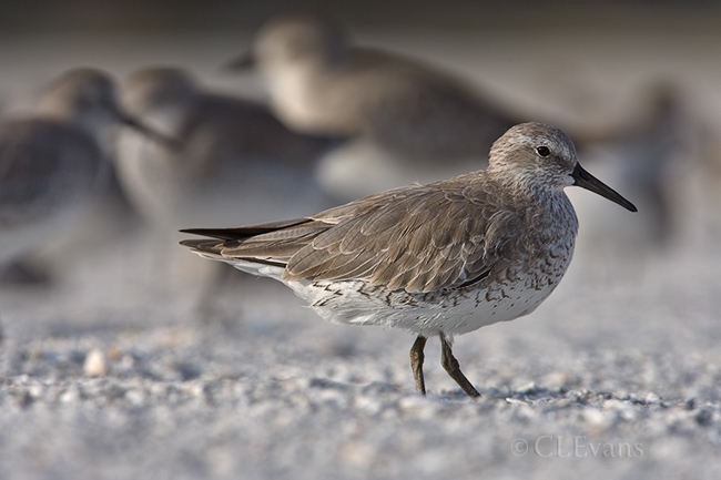 Red Knot in winter plumage (Redington Beach)
