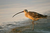 Long-billed Curlew (Ft. De Soto Park, St. Petersburg)