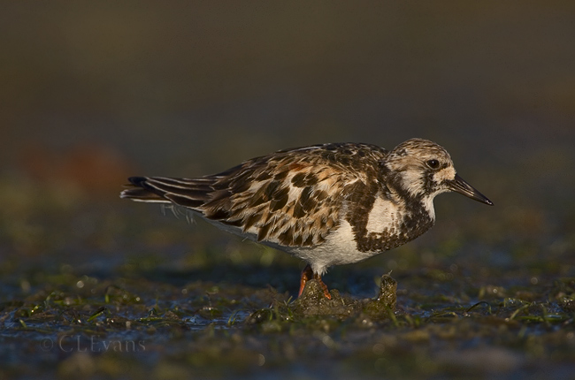 Ruddy Turnstone (Ft. De Soto, St. Petersburg)
