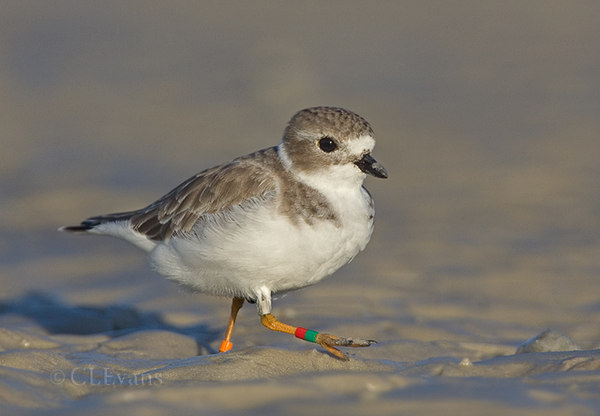 Piping Plover with bands (Ft. De Soto Park, St. Petersburg)