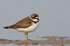 Semipalmated Plover (Ft. De Soto Park, St. Petersburg)