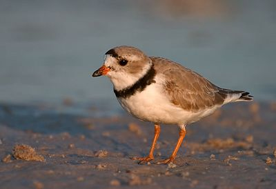 Shorebirds Gallery 2, Plovers & Turnstones
