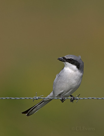 Shrikes and Vireos