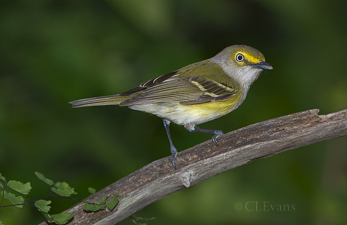 White-eyed Vireo (Largo)