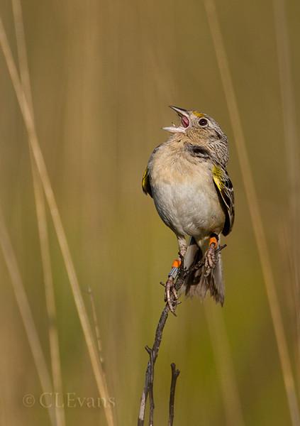 Florida Grasshopper Sparrow (Ammodramus savannarum floridanus) -- male singing on territory (Kissimmee Prairie Preserve)<br /> <br /> This subspecies of Grasshopper Sparrow is listed federally as endangered.