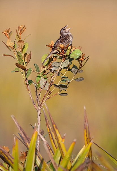 Singing Bachman's Sparrow on Rusty Lyonia (Kissimmee Prairie Preserve)