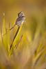 Bachman's Sparrow (Kissimmee Prairie)