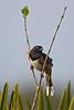 Eastern Towhee, alleni subspecies (Kissimmee Prairie Preserve)