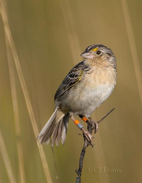 Florida Grasshopper Sparrow (Ammodramus savannarum floridanus) -- male