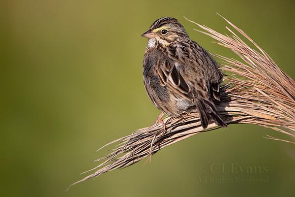 Savannah Sparrow (Kissimmee Prairie) - a winter resident