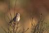 Singing Bachman's Sparrow (Kissimmee Prairie Preserve)