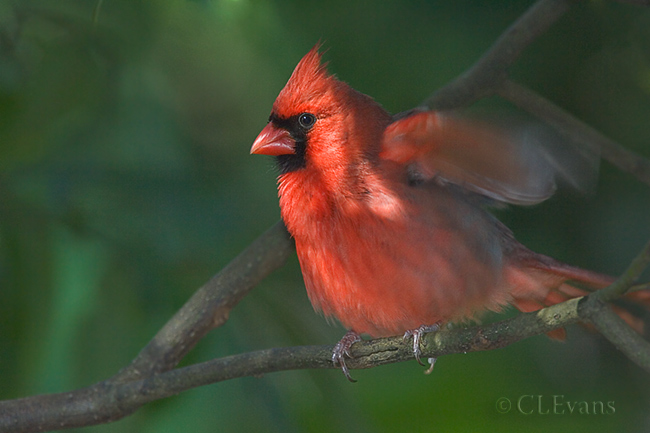 Northern Cardinal (Largo)