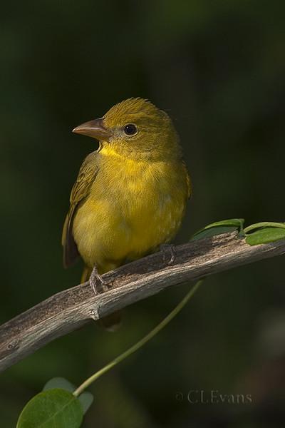 Summer Tanager - female (Largo)