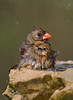 Northern Cardinal female taking a bath in the fountain (St. Petersburg)