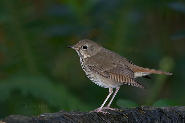 Hermit Thrush (Largo)