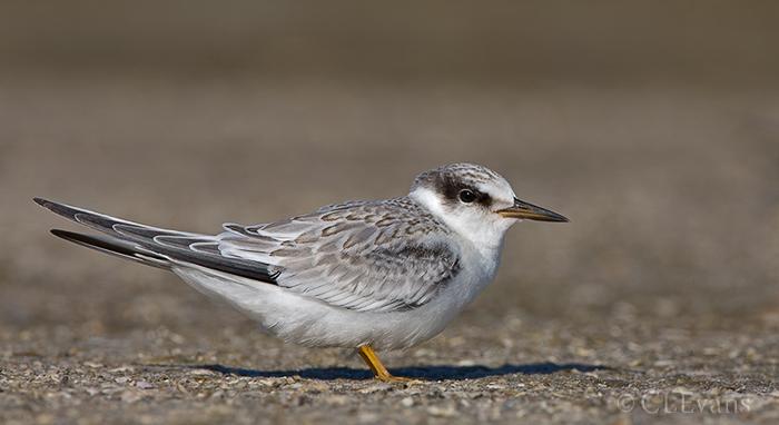 Least Tern Juvenile (Ft. De Soto Park, St. Petersburg)