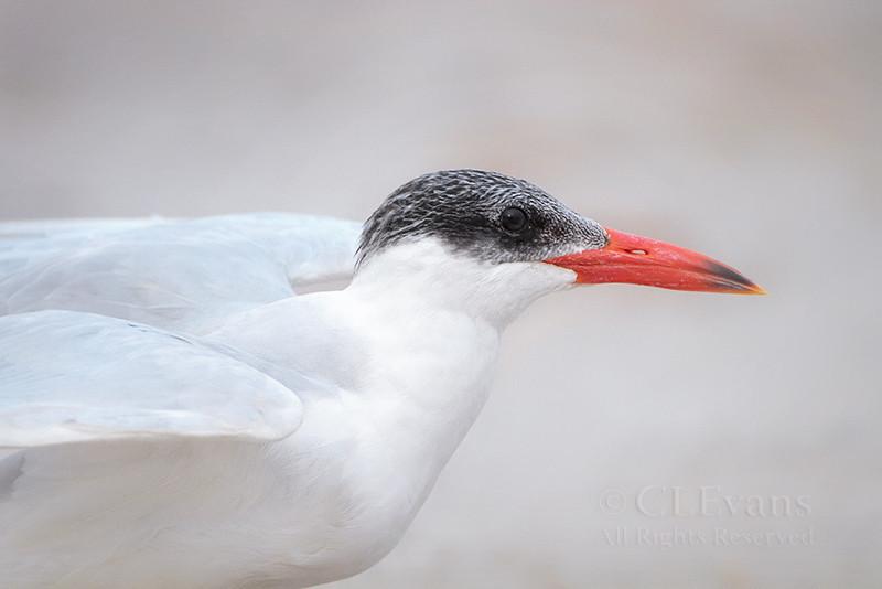 Caspian Tern in winter, non-breeding plumage, -- about to take off (Lake Okeechobee)